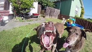 My dogs drinking water from a hose in slow motion 240 fps