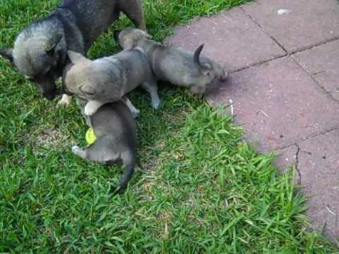 Countten Swedish Vallhund puppies May 31st.