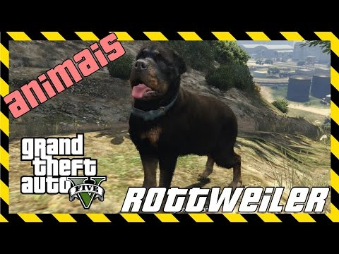 Como virar Labrador/Golden Retriever no GTA 5 | Doovi