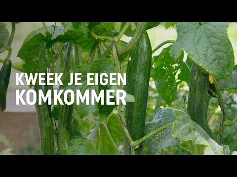 Komkommer zaaien, kweken