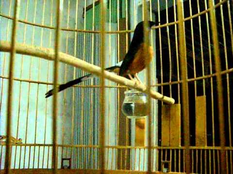 Chim Chích Chòe Lửa Đuôi 21.5 Đánh Đuôi, Hót Hay
