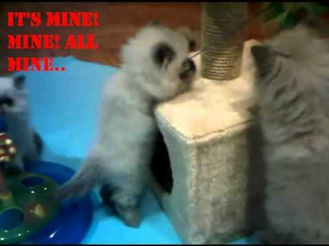Himalayan Kittens playing