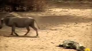 Crocodile Attack wild bours YALA Animal attack Top ten10@animal
