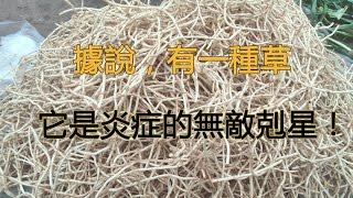 據說,有一種草,它是炎症的無敵剋星!