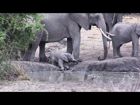 Cute Newborn Baby Elephant Learning To Use Trunk