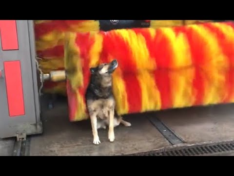 Dog Loves The Car Wash