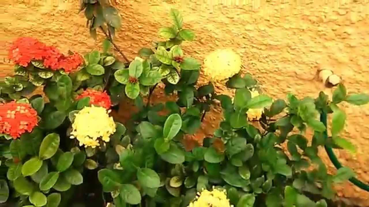 ixoras plantas decorativas youtube