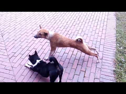 Dog attack a Dog -Animal attacks - Animal fights/exercise