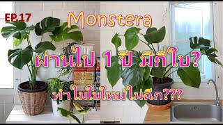 EP.17 เลี้ยงมอนสเตอร่า (Monstera) มาครบ 1 ปี ทำไมใบใหม่ไม่ฉีก???