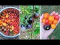 Cherry Tomatoes I'm Growing 2018! Heirloom Tomato Review!