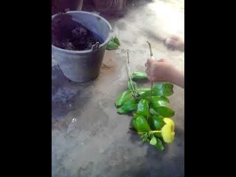 Cara Mudah Stek Batang Bungga Alamanda Youtube