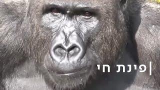 קפץ לו הקוף: מנהיג הגורילות הכריז מלחמה על הווטרינר הראשי