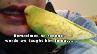 How I Taught My Bird To Talk - PEDRO the Budgie Video #34