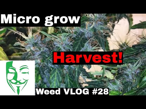 Micro grow Harvest Day! White Widow CBD Autoflower (Full grow guide)