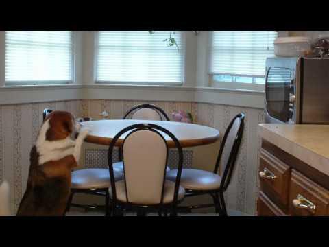Beagle stealing food
