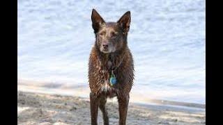 #19 AUSTRALIAN KELPIE 3/3  | Which Dog Should I Get? Dog Breed Selector