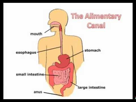 B2 digestive system youtube b2 digestive system ccuart Image collections