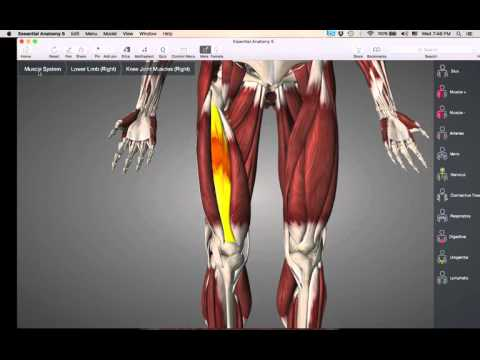 Muscles that move knee