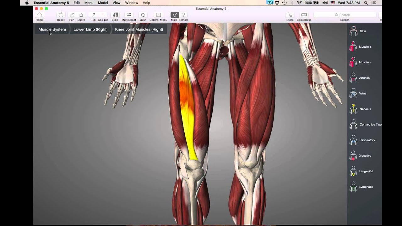 Muscles That Move Knee Youtube