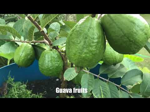 Tropical fruits in Georgia 10/27/2017