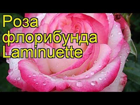 Роза флорибунда Ламинуэтте. Краткий обзор, описание характеристик, где купить саженцы Laminuette