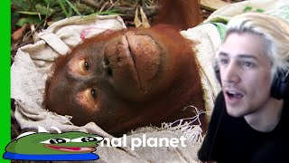 Xqc Reacts To Two Orangutan Outcasts Compete For Food Sacks  Orangutan Island