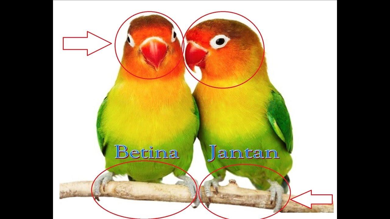 Cara Membedakan Lovebird Jantan Dan Betina 10 Perbedaan Lovebird Jantan Dan Betina Youtube