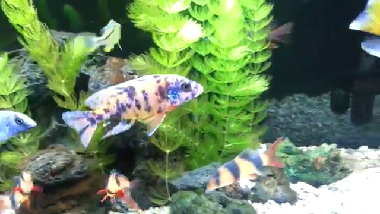 Fish aquarium cleaning tips - Cichlid Tank Cleaning Tip