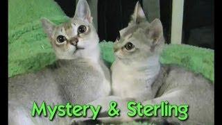 Meet Mystery & Sterling Singapuras Worlds Smallest Cat Breed