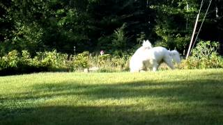 Mighty Oaks Farm -  Livestock Guardian Dogs playing