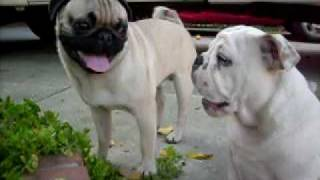 Uni The Pug Vs. Toro The English Bulldog