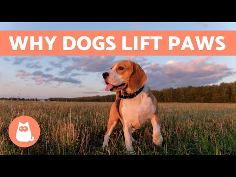Pet Corner - Why Do Dogs Lift Their FRONT PAW?