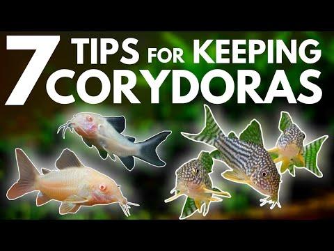 7 Tips For Keeping Corydoras In An Aquarium