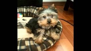 Darya - Yorkshire Terrier - Birthday