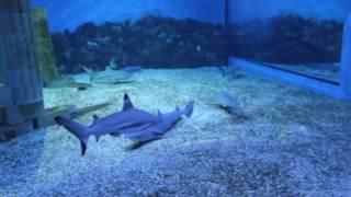 самая опасная акула