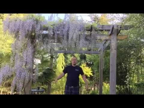 GROWING WISTERIA FROM SEED / HOW TO PLANT WISTERIA