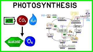 Photosynthesis: The Light Reactions and The Calvin Cycle