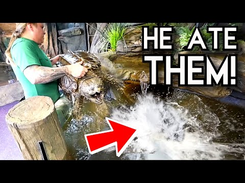 TRAGEDY!! WHILE PUTTING MONSTER FISH IN WITH MY ALLIGATOR SNAPPING TURTLE!! | BRIAN BARCZYK