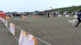 2015/11/7徳島にてホワイトスイスシェパードドッグ単独展開催最後のBI...