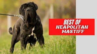 Best of Neapolitan Mastiff  The Perfect Guard Dog  Mastino Nepoletano