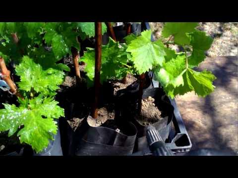 Трипсы на виноградных саженцах