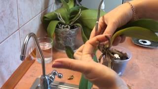 Смотреть видео цветущяя орхидея начала пропадать загнились корни что делать как спасти