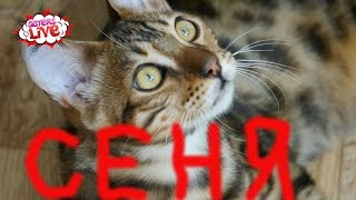 Бенгальская кошка охота в лесу. Бенгальский кот - настоящий хищник. Ласковый котенок Систерс Лайв