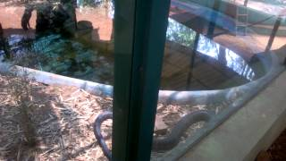 King Cobra in Kannur Parassinikkadavu snake park