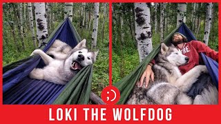Loki the Pet Wolfdog's Cute Outdoor Adventures