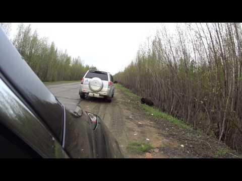 Медведь возле города / Республика Коми / Вуктыл