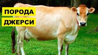 Разведение коров породы Джерси как бизнес идея   КРС   Корова Джерси