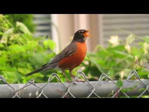 Robin Call