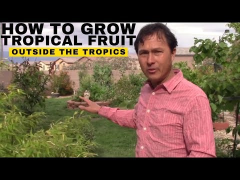 How to Grow Tropical Fruit Trees Outside the Tropics in Las Vegas or Anywhere