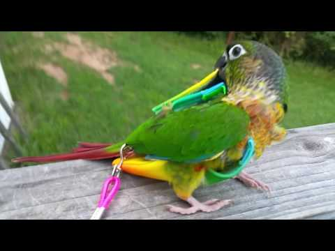 Conure Tries Out His New Flight Suit
